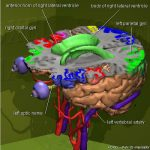 3D-Atlas des Gehirns