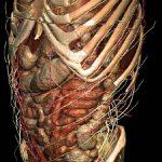 3D-Atlas der inneren Organe