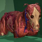 Muskeln des Visible Dog