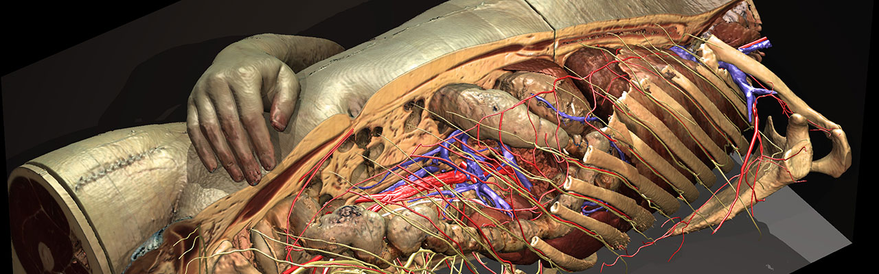 Rumpf und Innere Organe des Visible Human