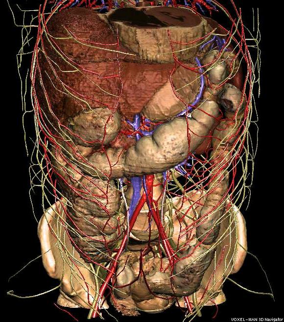 3D-Anatomie des Abdomens