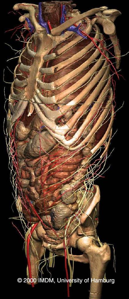 Voxel-Man 3D-Navigator: Innere Organe
