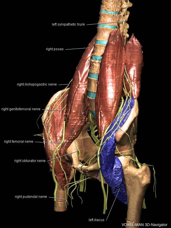 Nervensystem des Rumpfes
