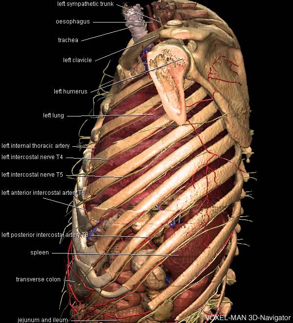 3D-Anatomie des Thorax