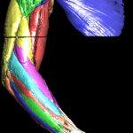 Eingefärbte Muskeln des Arms