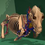 Skelett des Visible Dog