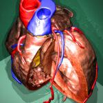 Aufgeschnittenes Herz der Visible Human Female