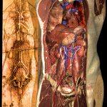 Herz-Kreislauf-System des Visible Human nach Leonardo da Vinci