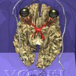 Weiße Substanz des Gehirns des Visible Human in kaudaler Ansicht